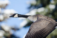 Canada Goose Flying Past the Snowy Winter Trees Royalty Free Stock Image