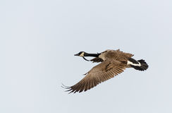Canada Goose flying Royalty Free Stock Image