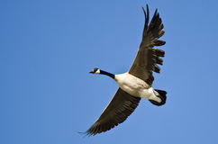 Canada Goose Flying with a Tattered Wing in a Blue Sky Royalty Free Stock Photography