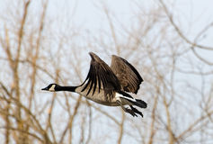 Canada Goose flying Stock Image