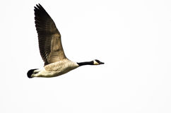 Canada Goose Flying on White Background Royalty Free Stock Image