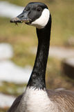 Canada Goose forgot to floss Royalty Free Stock Photos