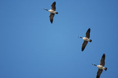 Canada Goose Formation Stock Photos