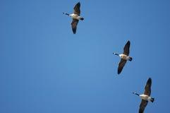 Canada Goose Formation Stock Photos