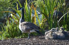 A Canada Goose with four baby`s at Golden Gate Park royalty free stock photos