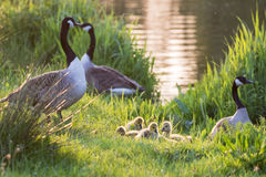 Canada goose geese family Branta canadensis with goslings Royalty Free Stock Photos