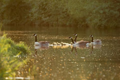 Canada goose geese family Branta canadensis with goslings Royalty Free Stock Images