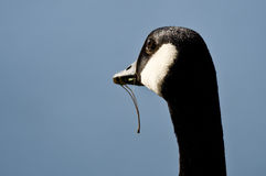 Canada Goose Glancing Upward With Food Dangling From Its Mouth Stock Photos