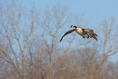 A canada goose glides across the sky. With its wings spread open and neck stretched outward, a canada goose glides across the sky. Barren spring trees and a blue royalty free stock photos