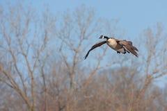 A canada goose glides across the sky Royalty Free Stock Photos