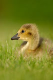 Canada Goose gosling 1. A  wild Canada Goose gosling sitting in grass Royalty Free Stock Image