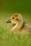Canada Goose gosling 1 Royalty Free Stock Image