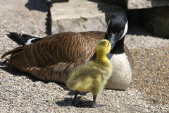 Canada Goose Gosling. Bill To Bill In Sun Royalty Free Stock Image