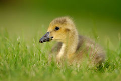Canada Goose gosling 2. A  wild Canada Goose gosling sitting in grass Royalty Free Stock Photography