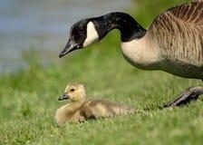 Canada Goose Gosling Royalty Free Stock Photos