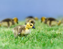 Canada goose gosling Royalty Free Stock Images