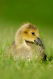 Canada Goose gosling 4 Stock Photo