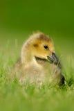 Canada Goose gosling 4. A  wild Canada Goose gosling sitting in grass Stock Photo
