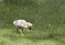 Canada Goose Gosling Baby Chick In Grass Royalty Free Stock Photos
