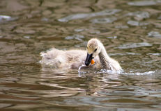 Canada Goose Gosling Stock Images