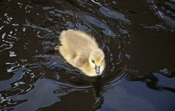 Canada goose gosling. Royalty Free Stock Images