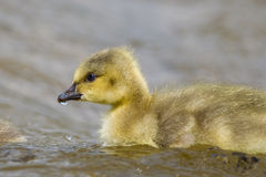 Canada Goose gosling close up Royalty Free Stock Photography