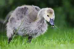 Canada goose gosling eating grass Stock Photography