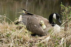 Canada Goose Gosling getting comfortable Royalty Free Stock Photo