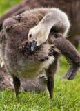 Canada Goose Gosling Grooming Stock Photos