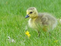 Canada Goose Gosling Near a Dandelion Royalty Free Stock Photos
