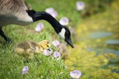 Canada goose gosling in pink spring flowers royalty free stock images
