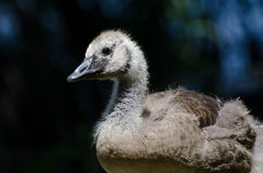 Canada Goose Gosling Profile Royalty Free Stock Image