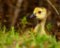 Canada Goose Gosling Stock Photography
