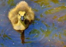 Canada Goose Gosling Stock Image