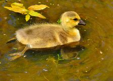 Canada Goose Gosling Stock Photos