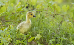 Canada Goose gosling Stock Images