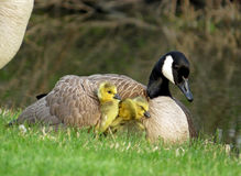 Canada Goose with Gosling Under Her Wing Royalty Free Stock Photos