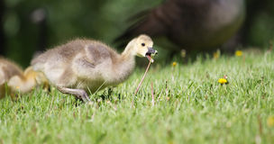 Canada goose gosling walking on the grass Royalty Free Stock Photo