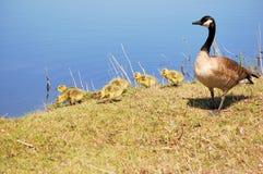 Canada Goose Goslings Stock Photos