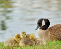Canada Goose Goslings Royalty Free Stock Image