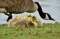 Canada Goose Goslings Stock Photography