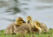 Free Canada Goose Goslings Royalty Free Stock Images - 25560719