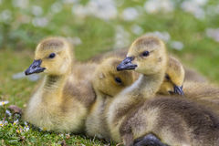 Canada Goose goslings close up Stock Images