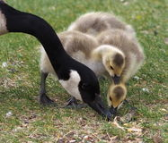 Canada Goose And Goslings Royalty Free Stock Photos