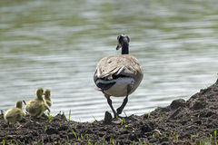 A Canada Goose and Goslings. Extremely successful at living in human-altered areas, Canada geese have proven able to establish breeding colonies in urban and stock image