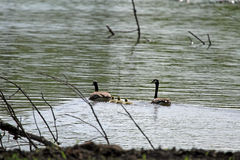 Canada Goose and Goslings. A familiar and widespread goose with a black head and neck, white chinstrap, light tan to cream breast and brown back. Has increased stock photography