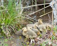 Canada Goose Goslings Stock Images