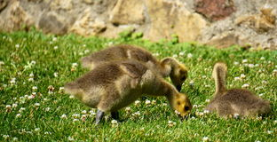Canada goose goslings Royalty Free Stock Photography