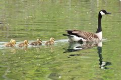 Canada Goose and Goslings Royalty Free Stock Image