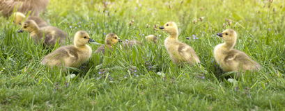Canada Goose Goslings Stock Photo